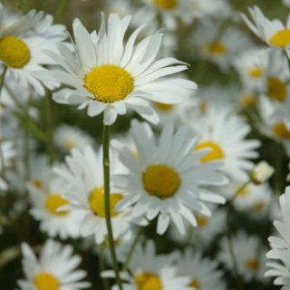 Daisies Live Wallpaper: Appstore for Android