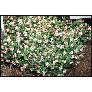 2.25 Gallon Purple Winter Daphne Flowering Shrub (L8130)