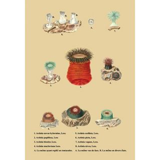 Actinia Novae Hybernine, Less et al. Graphic Art by Buyenlarge